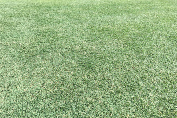 Celebration Bermudagrass